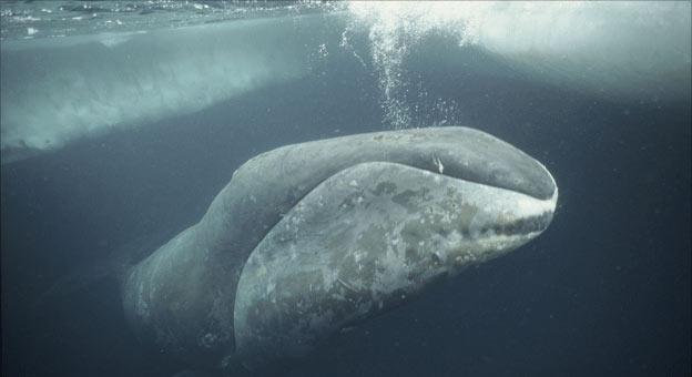 Grönlandi bálna