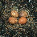 Vándorsólyom tojások